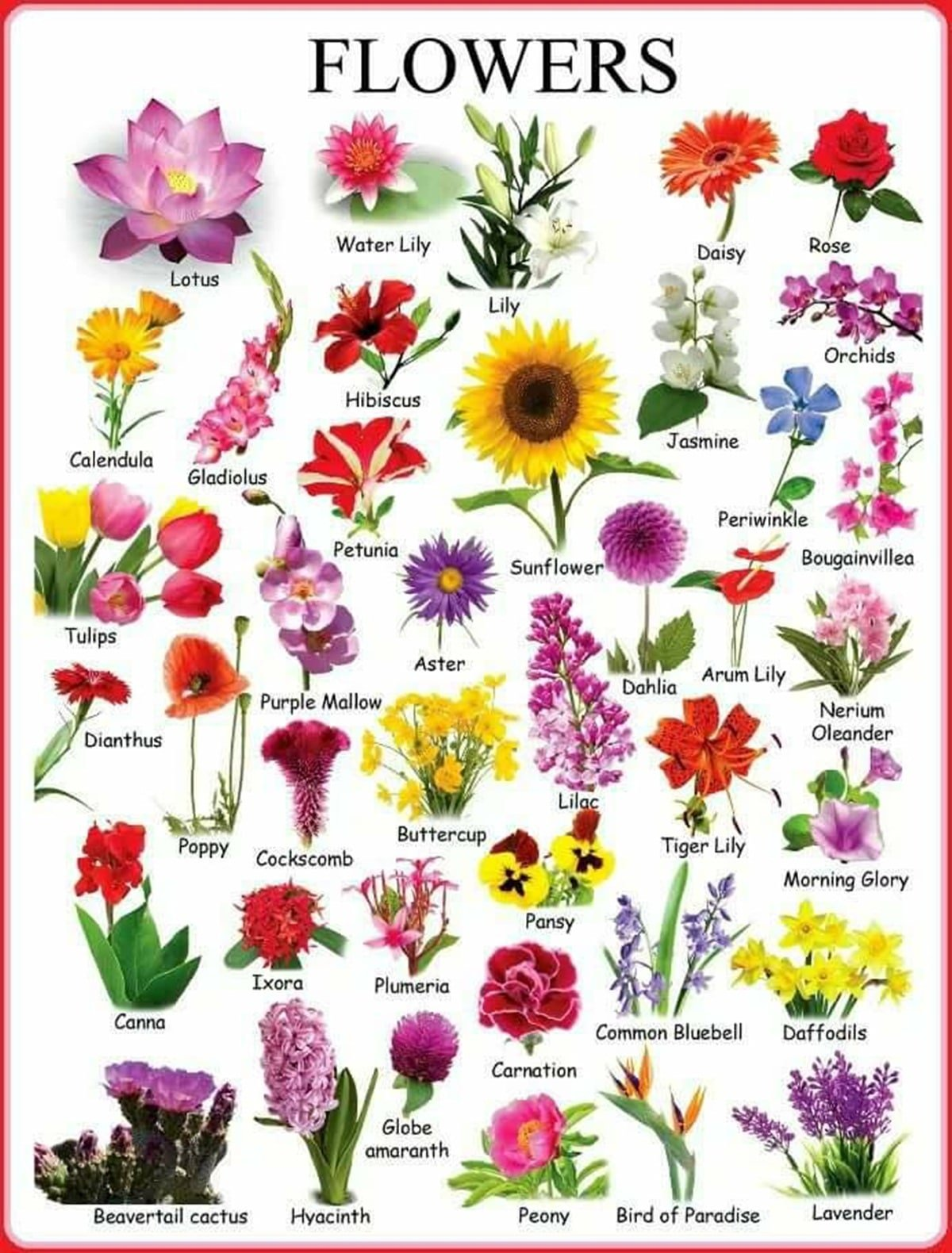 Learn English Vocabulary through Pictures: Flowers and Plants 4