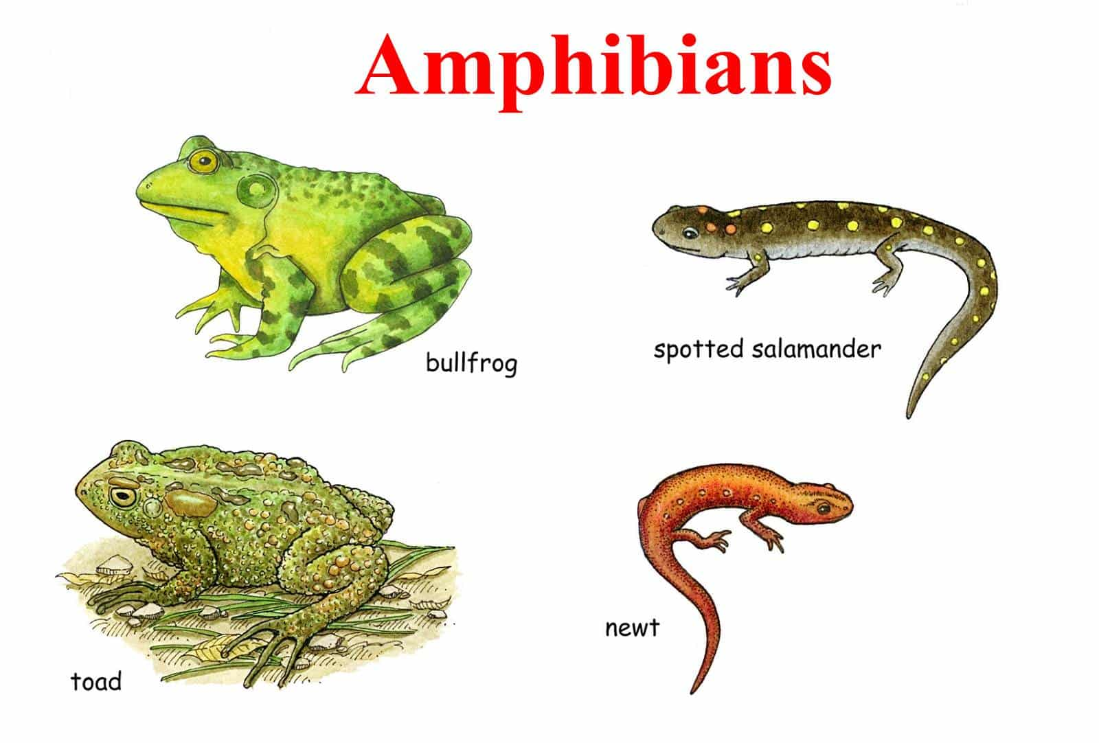 Learn English Vocabulary through Pictures: 100+ Animal Names 7