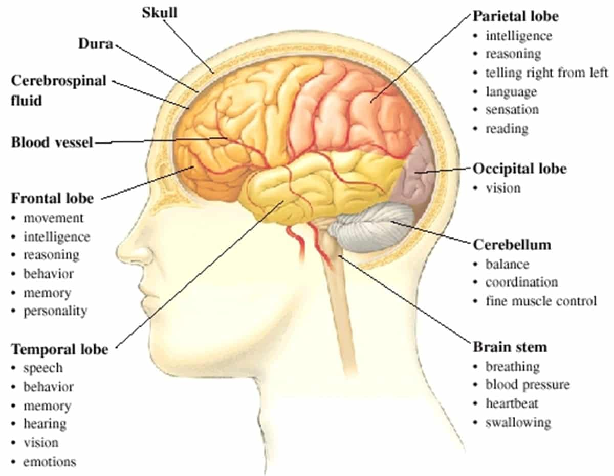 parts of the brain and their