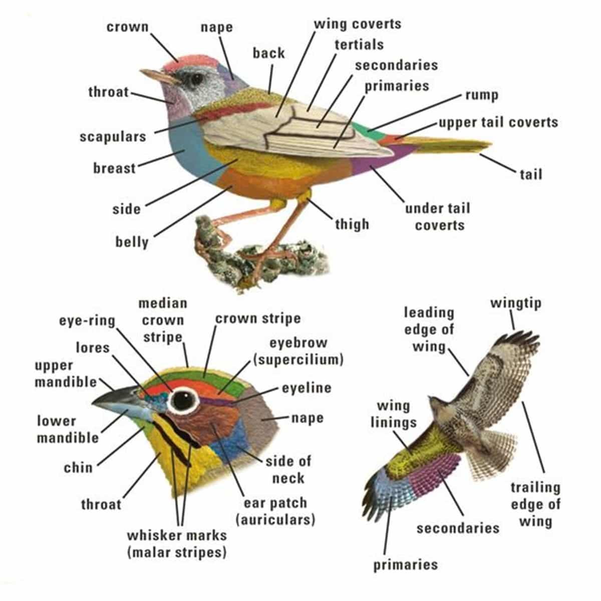 Bird Vocabulary and Parts of a Bird 2