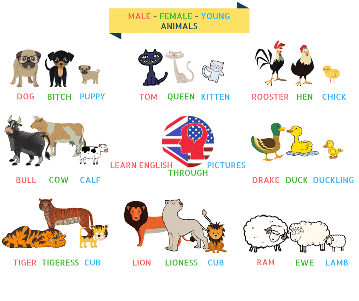 Male - Female - Young Animals in English