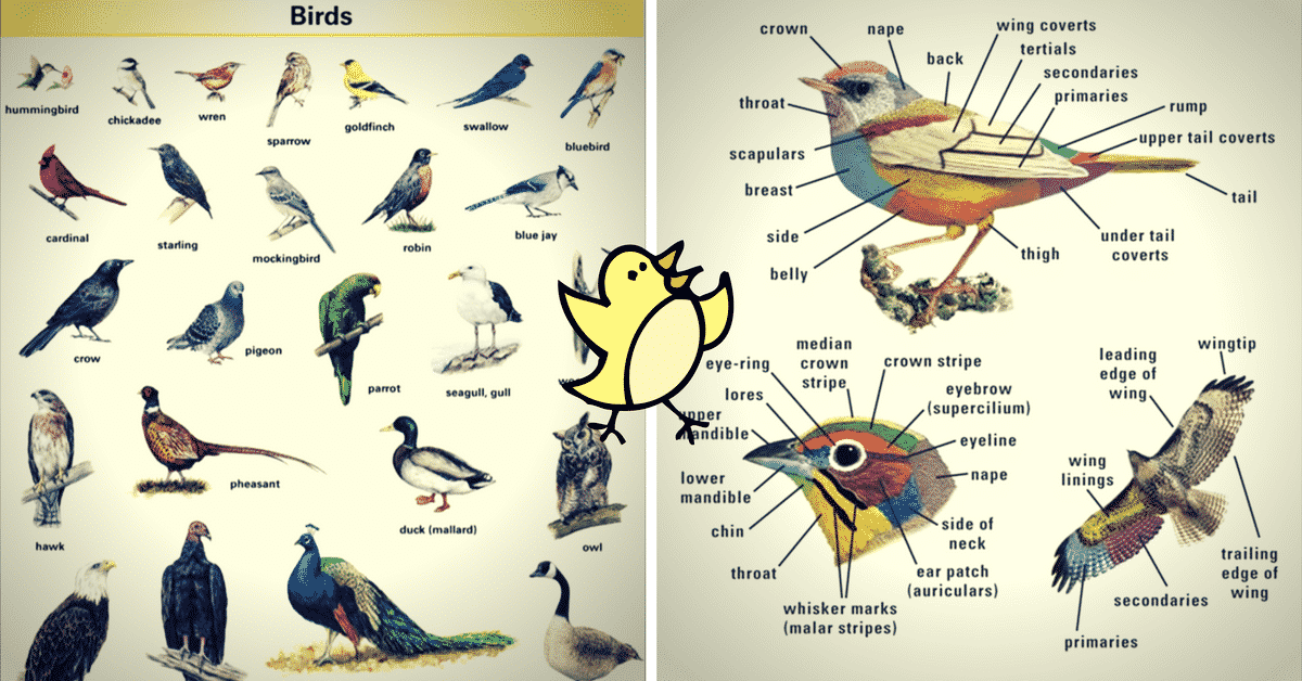 Bird Vocabulary and Parts of a Bird 14
