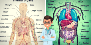 English Vocabulary: Internal Organs of the Human Body 20
