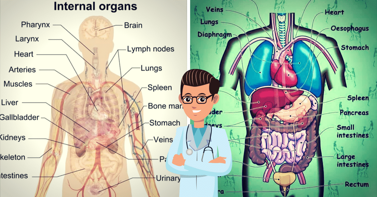 English Vocabulary Internal Organs Of The Human Body Eslbuzz